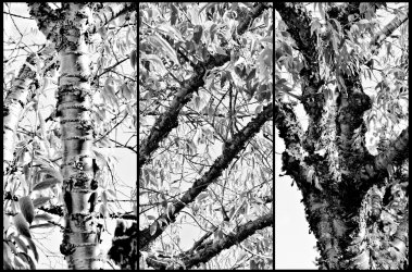 Peter Kyte 1.Tree Triptych